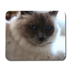 Katt Helig Birma Musmatta